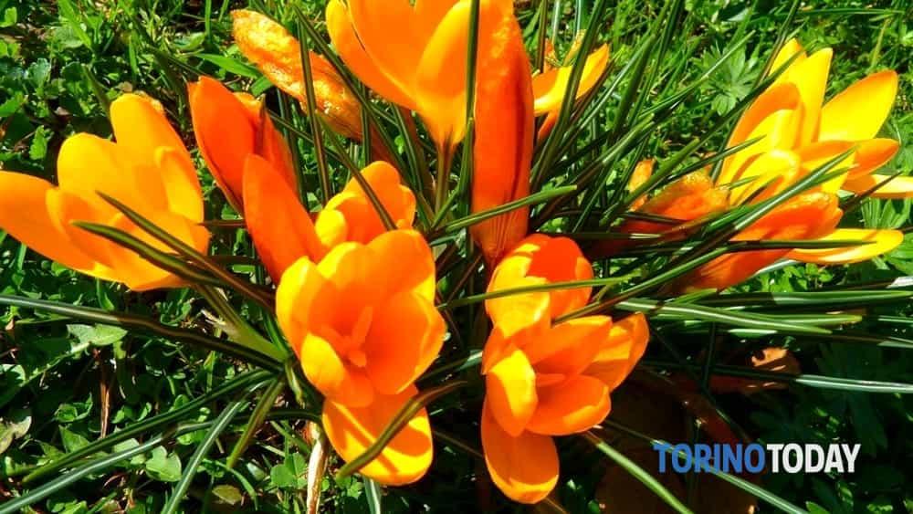 le bulbose: aiuole fiorite e piccoli bouquet-2