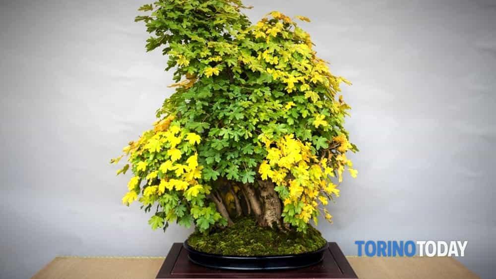 mostra del bonsai club torino c/o follia in fiore a collegno-2