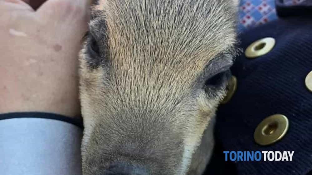 Giaveno cucciolo cinghiale salvato 12 2 20 1-2