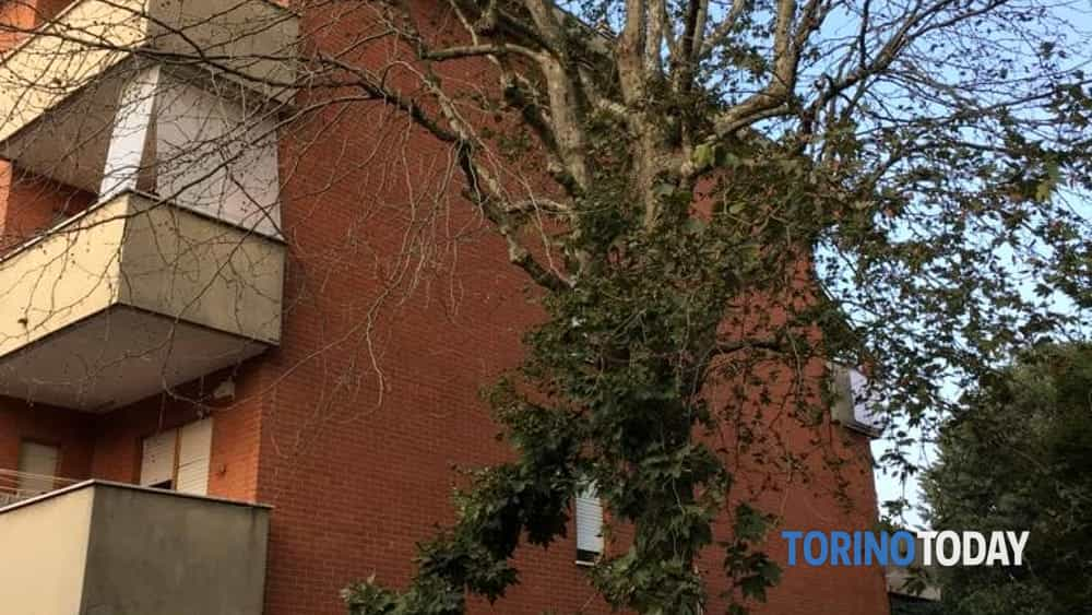 Venaria acido albero via Pavese 2-2