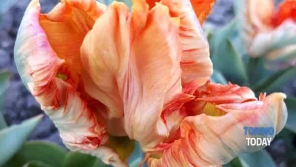 tuliparty torino-3