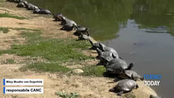 L'invasione delle tartarughe, è emergenza: possono diventare un pericolo per uomini e animali