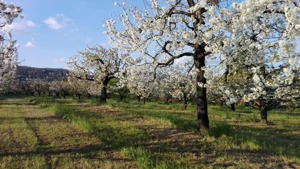 39° Camminata Gastronomica tra i ciliegi in fiore
