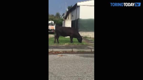 Una mucca bruca indisturbata in città, era scappata dall'allevamento
