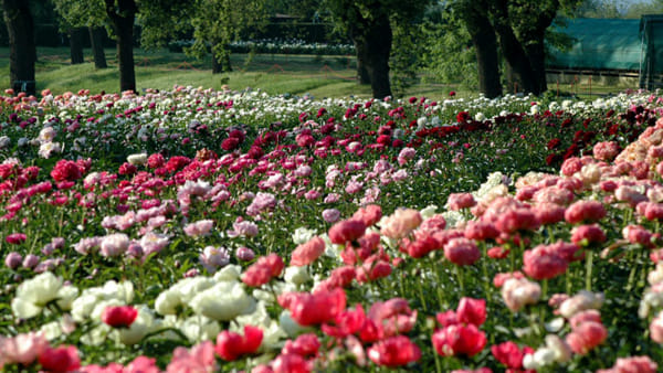 """Peonie in fiore"" a Carmagnola"