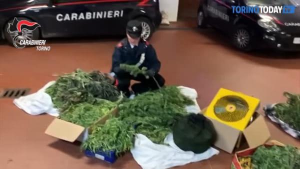 Maneggio trasformato in una serra per la coltivazione di marijuana, due arresti