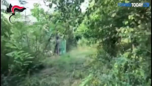 Trasforma l'orto pieno di pomodori in una piantagione di marijuana: arrestato 58enne