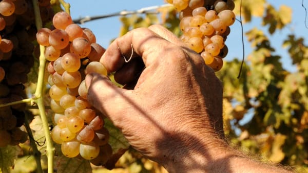 Festa dell'Uva Erbaluce a Caluso